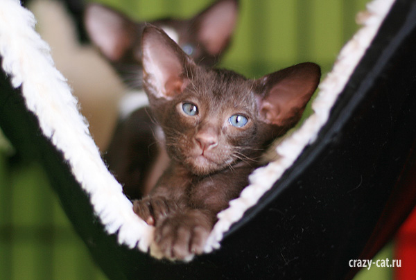 Ориентального котенка